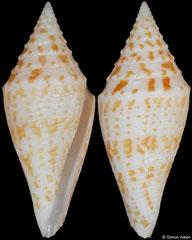 Conus rizali (Philippines, 36,0mm)