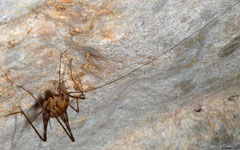 Cave cricket (Rhaphidophoridae sp.), Kampong Trach, Cambodia