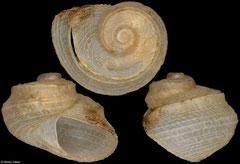 Sukashitrochus atkinsoni (Victoria, Australia, 2,1mm)