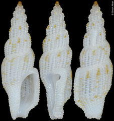 Daphnella sp. (Philippines, 9,3mm)