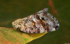 Planthopper (Ricania sp.), Broome, Western Australia