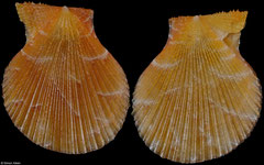 Laevichlamys gladysiae (Philippines, 16,0mm) F+++ €22.00
