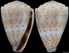 Conus abbreviatus (Hawaii, 23,0mm) F++ €5.00