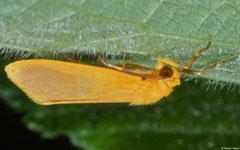 Tuft moth (Nolidae sp.), Balut Island, Philippines