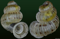 Weinlandipoma milleri (Dominican Republic, 3,6mm) F++ €6.00 (specimens for sale are c.3mm and are of the same quality as the specimen illustrated)