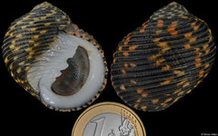 Nerita scabricosta (Galápagos, 35,2mm)