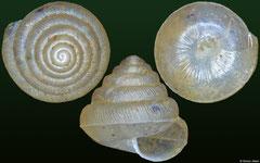 Sitala sp. (Madagascar, 5,3mm)