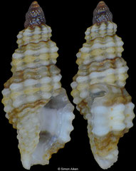 Kermia melanoxytum (Philippines, 4,6mm) F+++ €4.00 (specimens for sale are 3-4mm and are of the same quality as the specimen illustrated)