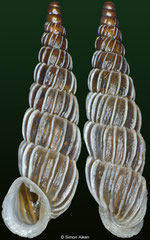 Alopia canescens haueri (Romania, 17,0mm)