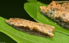Leafroller moth (Tortricidae sp.), Ban Poung, Bolikhamsai Province, Laos