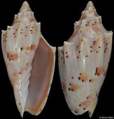 Cymbiola pulchra (Queensland, Australia, 69,1mm)