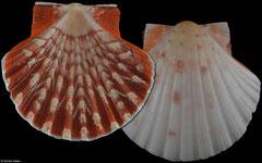 Pecten keppelianus (Cape Verde, 46,0mm)
