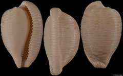 Cypraea capensis form 'profundorum' (South Africa, 25,6mm)