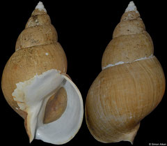 Buccinum osagawai (Japan, 136,3mm)