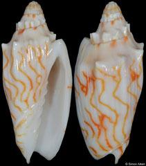 Cymbiola perplicata (Coral Sea, 50,0mm)