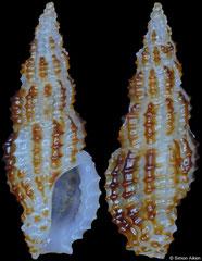 Pseudodaphnella tincta (Philippines, 8,4mm)