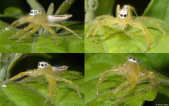 Jumping spider (Epocilla sp.), Kampong Trach, Cambodia