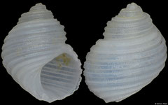 Conradia sulcifera (Philippines, 3,6mm)