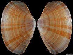 Mactra rochebrunei (Madagascar, 104,3mm)