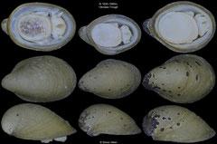 Lepetodrilus nux (Okinawa Trough, 6,5mm, 5,5mm, 6,2mm)