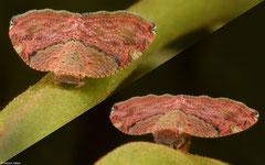 Planthopper (Ricaniidae sp.), Krong Kaeb, Cambodia