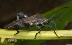 Leaf-footed bug (Coreidae sp.), Balut Island, Philippines