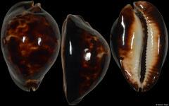 Cypraea friendii form 'thersites' (Western Australia, 64,0mm)