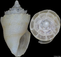 Conopleura latiaxisa (Philippines, 8,1mm)