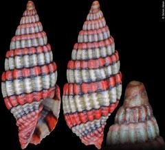 Vexillum kuiperi (Philippines, 8,4mm)