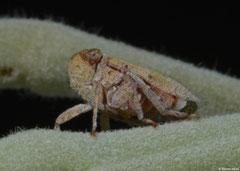 Planthopper (Fulgoromorpha sp.), Broome, Western Australia