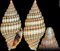 Vexillum purpuratum (Philippines, 8,2mm)