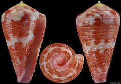 Conus pertusus (Philippines, 29,3mm) F+++ €4.00
