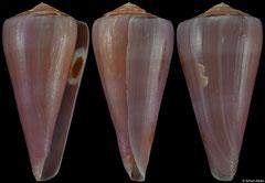 Conus berdulinus (South Africa, 67,2mm)