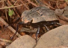 Beetle (Scarabaeidae sp.), Fianarantsoa, Madagascar