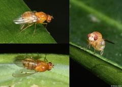 Acalyptrate fly (Lauxaniidae sp.), Perth, Western Australia