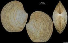 Lucinoma aequizonatum (Santa Barbara Basin, 41,4mm)