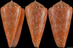 Conus royaikeni (South Africa, 44,6mm)