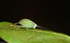 Katydid (Tettigoniidea sp.), Samal Island, Philippines