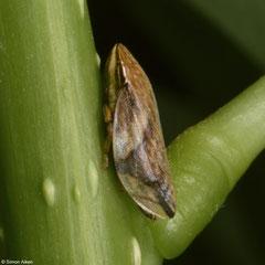 Leafhopper (Cicadellidae sp.), Samal Island, Philippines