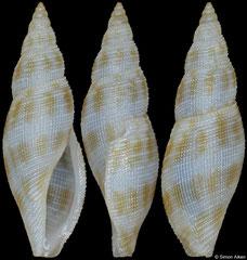 Daphnella ornata (Philippines, 11,2mm)
