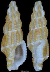 Raphitomidae sp. (Philippines, 10,8mm)