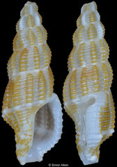 Raphitomidae sp. (Philippines, 10,8mm)