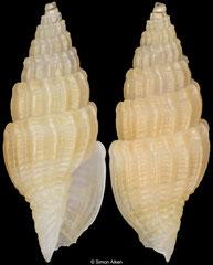 Vexillum epigonus (Philippines, 9,9mm) F++ €6.00