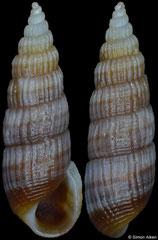 Mumiola myrnae (Philippines, 9,2mm)