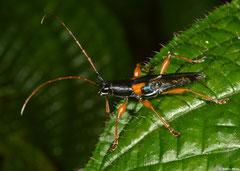 Longhorn beetle (Cerambycidae sp.), Mantadia, Madagascar