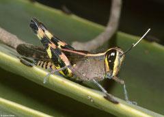 Grasshopper (Acrididae sp.), Ifaty-Mangily, Madagascar