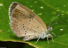 Lesser grass blue (Zizina otis), Bokor Mountain, Cambodia