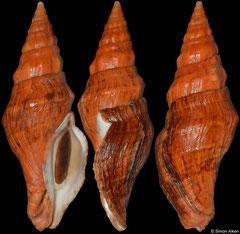 Latirus abnormis (South Africa, 70,3mm)
