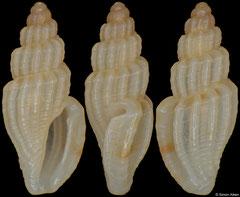 Mangelia shepstonensis (South Africa, 5,3mm)