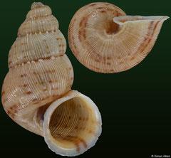 Gouldipoma simplicistoma (Venezuela, 17,4mm) F+/F++ €29.00